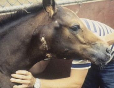prevention of strangles in horses By jenifer r gold, dvm, diplomate acvim strangles is the common name for a bacterial infection  treatment with penicillin in horses that have enlarged lymph .